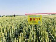 黄淮麦区北片优质强筋小麦品种会在潍坊召开 优良小麦品种同台亮相