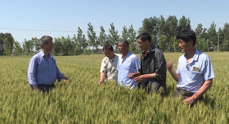 气温飙升!山东农技专家下乡指导应对干热风 全力夺取小麦丰产丰收