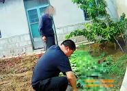 为治病一口气种了363株罂粟 寿光五旬男子被拘留15日