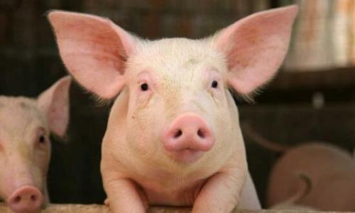 山东:排查生猪4.57亿余头次 查处私屠滥宰等违法案件103个
