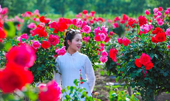 32秒|枣庄台儿庄古城祥和庄园月季花开 500亩花海宛如人间仙境