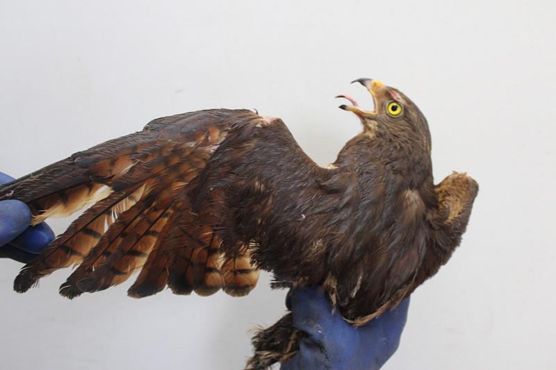 青岛海关隶属龙口海关查获国家二级保护动物灰脸鵟鹰