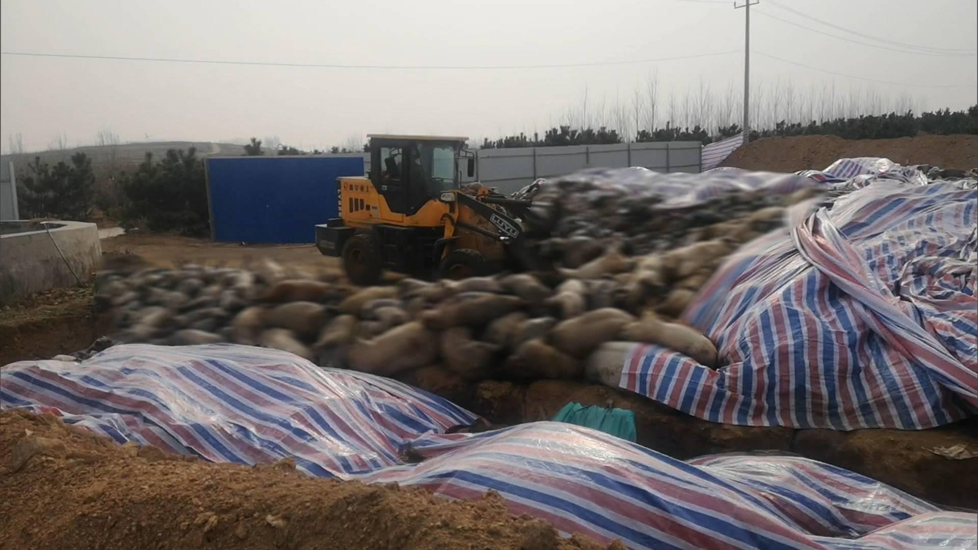 问政追踪|沂水县沂水镇露天堆放病死猪场地已还田种植大豆