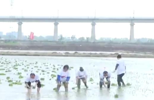 5G+AI加持!青岛海水稻芒种插秧,1亿亩海水稻可多养活1亿人