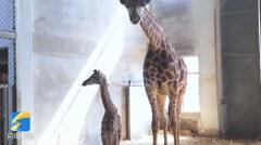 被济南的这个小长颈鹿圈粉!刚出生身高就1.7米,还有迷人大长腿