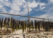 中科院海洋所培育的杂交海带栽培在辽宁、山东开花结果