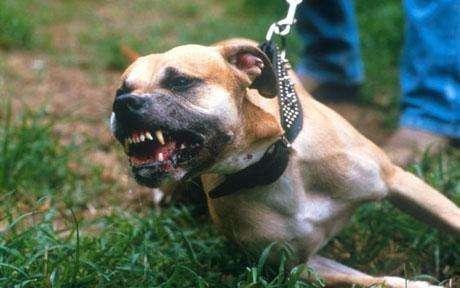 注意!济宁禁养烈性犬品种名录出炉 包含这48种犬