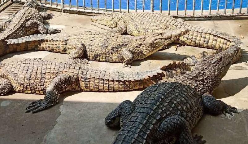 武汉暴雨后肉联厂惊现鳄鱼,动物园辟谣,那么鳄鱼到达哪来的?