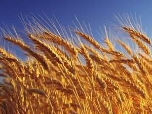 国家区域性良种繁育基地,兖州小麦榜上有名