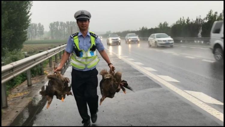68秒丨一群鸭子在青岛高速路上散步,这下可忙坏了交警