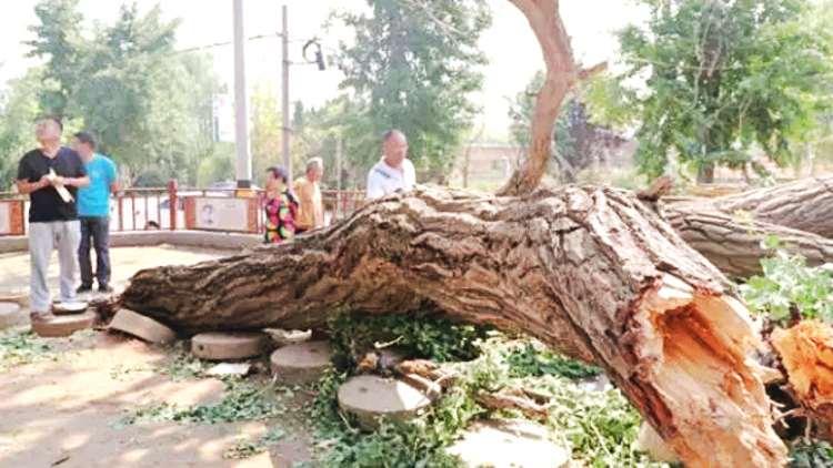 """30秒丨狂风骤雨过后 寿光这棵600岁老银杏树意外""""断臂"""""""