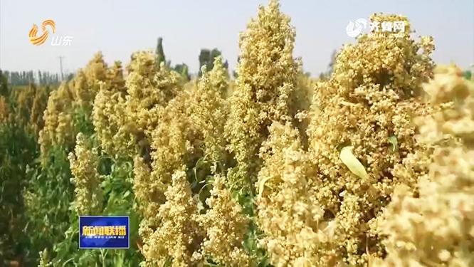 """理论亩产700斤! """"黄金谷物""""藜麦在山东规模化试种成功"""