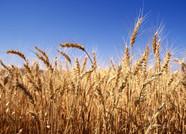 临朐出资146万元为全县46661户小麦