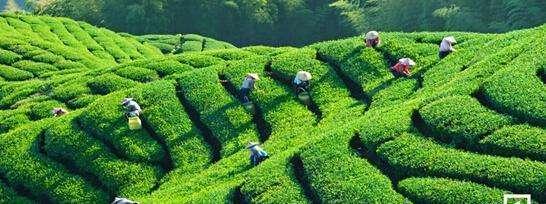 山东茶园面积达到55万亩 力推茶叶生产全程机械化