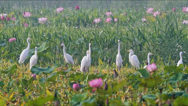 台儿庄涛沟河风景区百鸟齐飞,湿地风光美如画