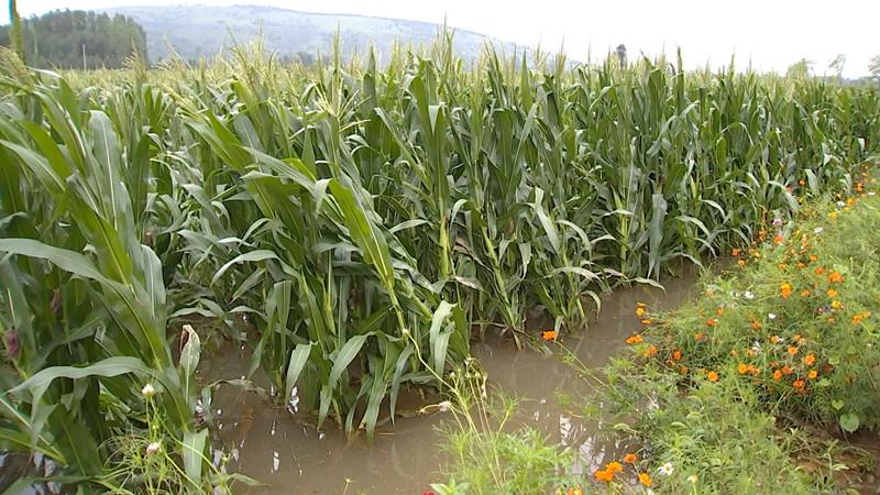 74秒丨枣庄山亭3000亩玉米地严重内涝 政府组织村民展开自救
