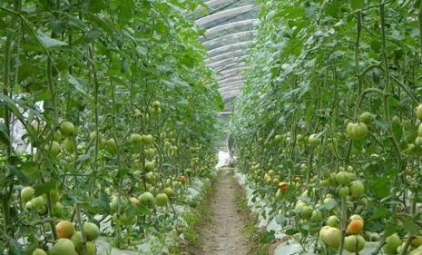 山东发布蔬菜灾后生产管理技术指导意见 建议科学修复受损设施