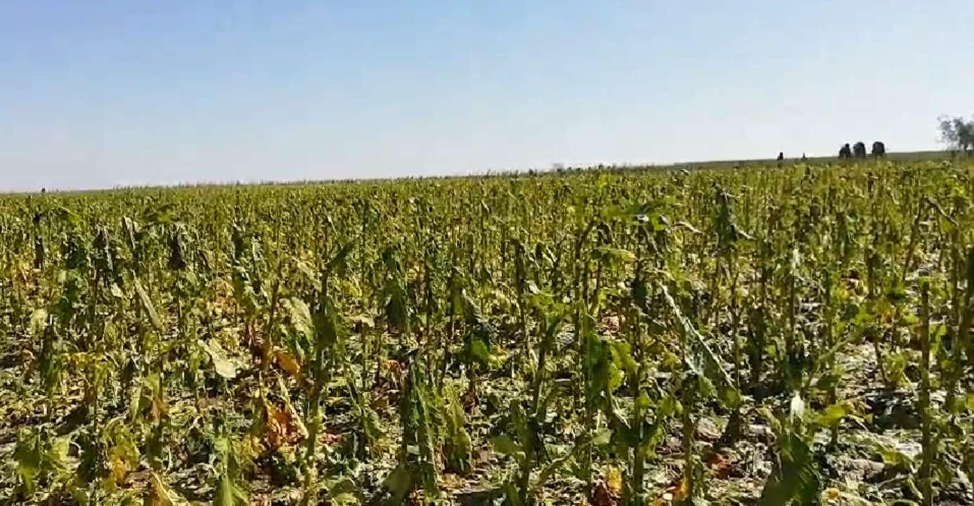 冰雹致农作物受灾 预计经济损失2.67亿元,诸城向社会发起募捐倡议