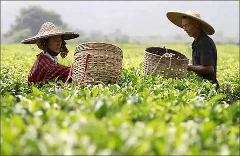 """品牌故事讲述""""泰山茶""""20余年回归之路 擦亮金字招牌还需下重锤"""