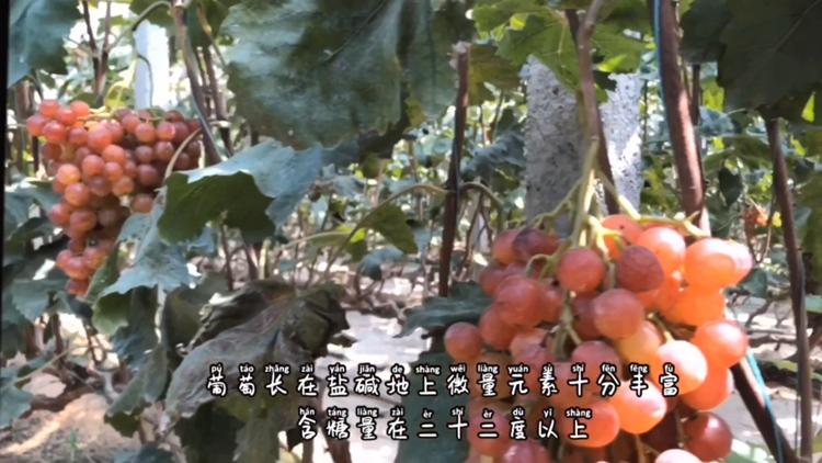 我们村不一样丨潍坊孟家村:盐碱地上也能长出含糖量二十二度以上的葡萄