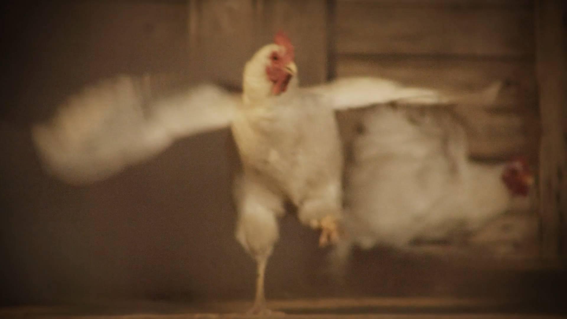"""""""我是街上最靓的仔""""!85秒看一只白羽肉鸡的自白"""