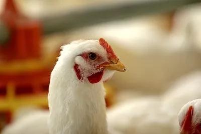 小肉鸡撬动大产业 助力山东品牌茁壮成长丨闪电评论