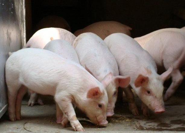 山东:大中城市猪肉储备不低于10天消费量 运猪(肉)车辆暂免收车辆通行费