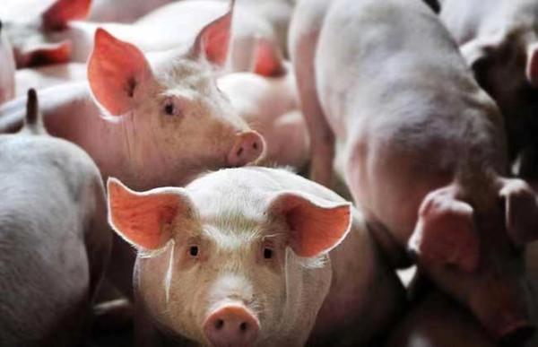 """保险、担保、补贴齐上阵,山东打""""组合拳"""" 稳定猪肉价格"""