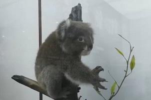 """打卡山东文博会上的""""野生动物园"""",烧焦桉树上的小考拉背后故事感人"""