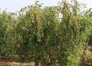 滨州沾化冬枣正值采摘期 较大昼夜温差有利于提升甜度