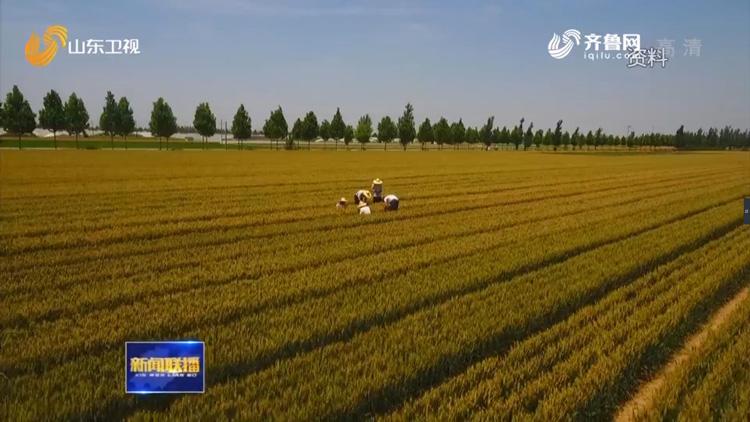 【壮丽70年 奋斗新时代】从农民自家留种到1500万转让专利,看山东小麦70年发展史