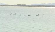 首批11只越冬大天鵝飛抵威海榮成 快來先睹為快