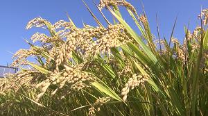 视频|鱼台稻米咋发展?听听院士怎么说