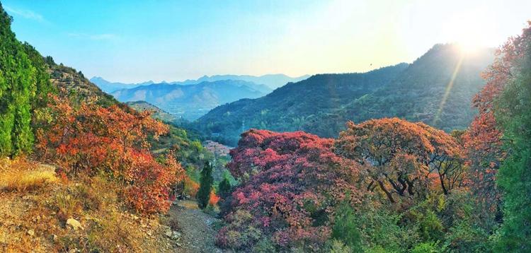 飞阅齐鲁 瞰万山红遍:淄博石安峪老树生新枝,漫山红遍令人不醉不休