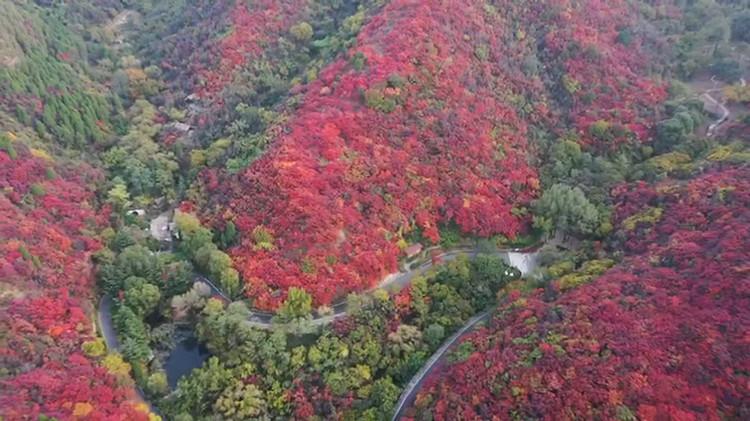 醉美秋色丨53秒航拍看遍济南红叶谷满山红叶,这才是秋天正确的打开方式