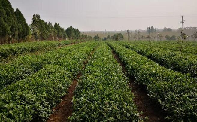 """一片茶叶带动21个村动能转换 茶溪川打造乡村振兴的""""沂蒙好例"""""""