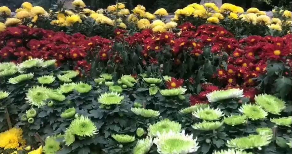 Vlog丨美!快来趵突泉赏菊啦!红的黄的紫的绿的……姹紫嫣红竞相绽放
