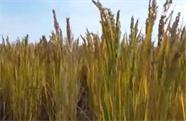 """新疆喀什""""农业的荒漠""""300亩海水稻亩产546.74公斤 今年口感更佳"""