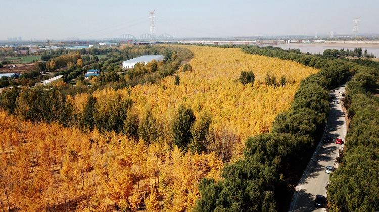 飞阅齐鲁 瞰万山红遍|济南黄河千亩银杏林展露芳容 如黄金缎带