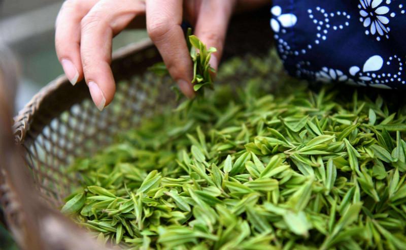 这就是山东丨穿越山东莒县浮来青老茶园 寻访古朴茶韵
