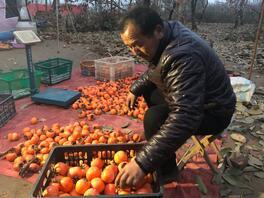 闪电公益助农|济阳滞销柿子已卖出7万斤,18日还有公益热卖等你来