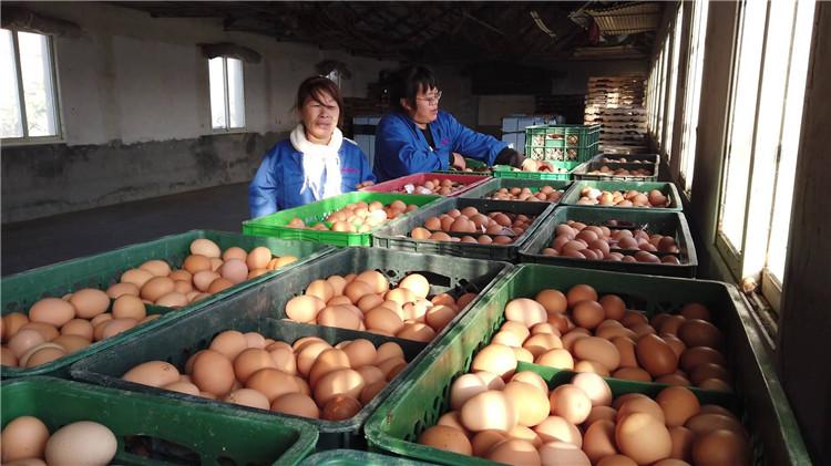 问政山东丨饲料添加剂里偷加抗生素 百吨鸡蛋被销毁