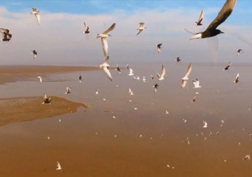 """60秒瞰黄河口湿地 已成鸟类""""国际机场"""""""