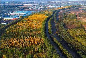 最美山东|黄河银杏林镶金边 千亩银杏林放光彩
