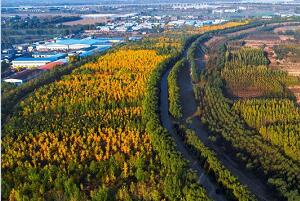 黄河银杏林镶金边 千亩银杏林放光彩