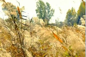 济西湿地:芦花纷飞漫天舞 野趣天成醉深秋