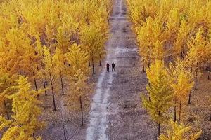 济南千亩银杏林 串起黄河生态链