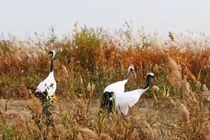 丹顶鹤大天鹅…黄河三角洲迎来近万候鸟