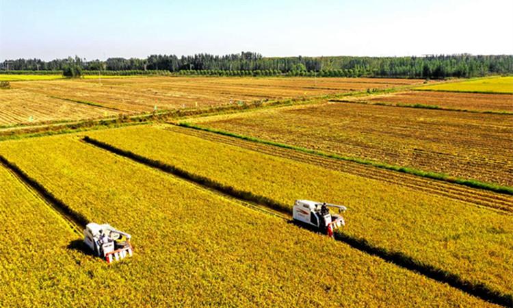 济南吴家堡万亩黄河水稻喜获丰收 遍地金黄