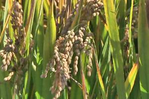 临沂新闻 丨 河东稻改:高产量迈向高品质 水稻种出新高度
